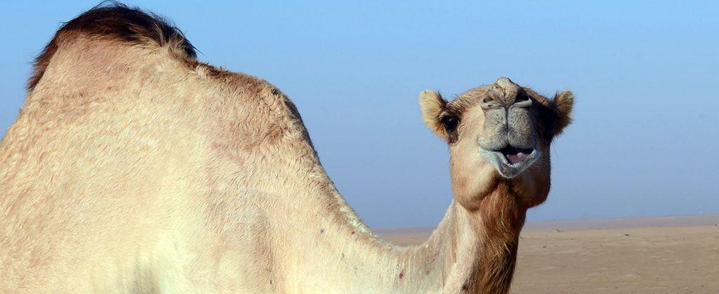 Imprescindibles Emiratos Arabes - Camellos-Desierto-02-1024x420