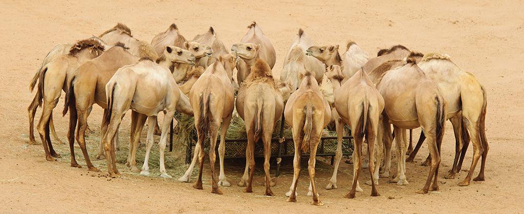 Granja-de-camellos-1024px