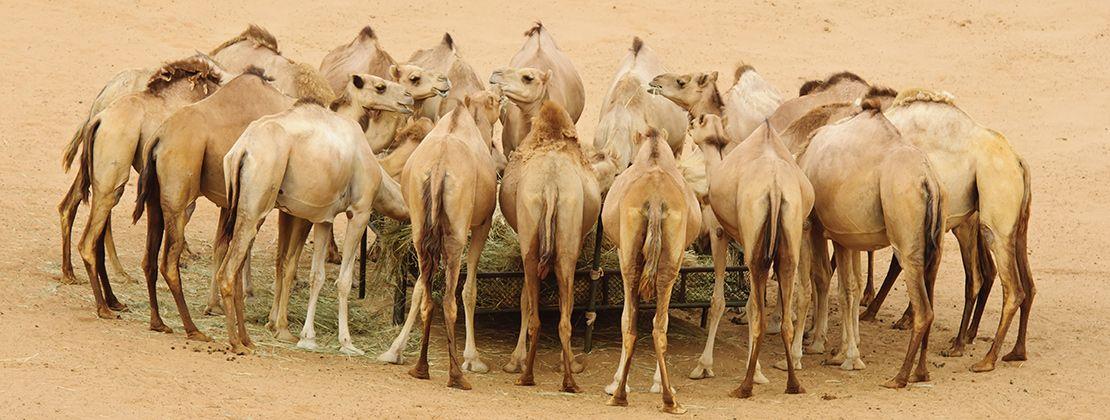 granja de camellos