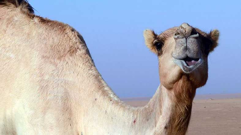 Desierto Liwa Camellos - See Dubai Tours