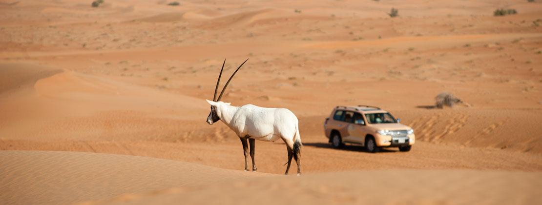 Al Maha oryx